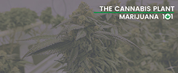 The Cannabis Plant
